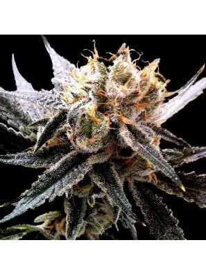 DNA Genetics - Cannabis Seeds