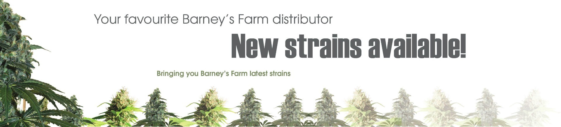 #1 Barneys Farm distributor, proudly bringing you your favourite strains