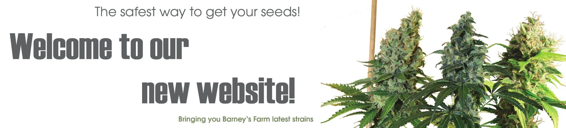 Bringing you Barneys Farm latest strains, your favorite Barneys Farm distributor